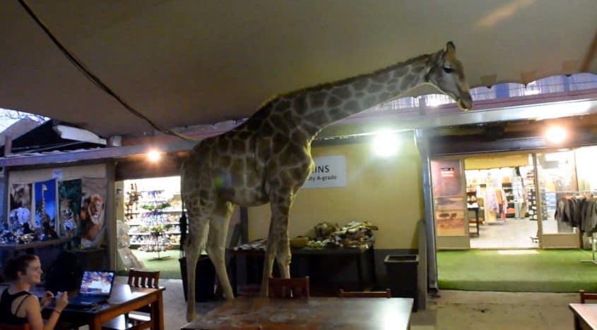 giraffe-literally-walks-into-bar-in-south-africa