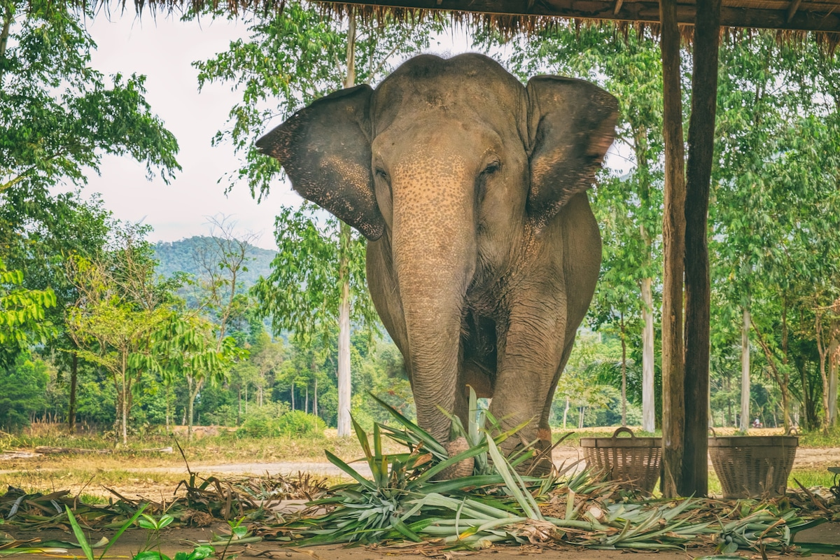 elephant-eating-grass-outside